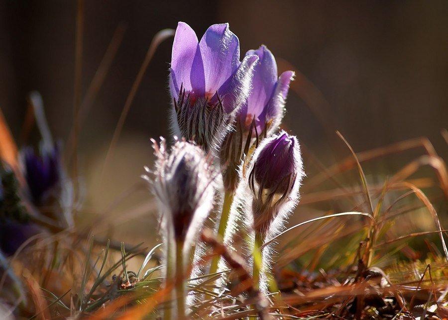 Прострел раскрытый, или сон-трава, обычный для Брянской области первоцвет.