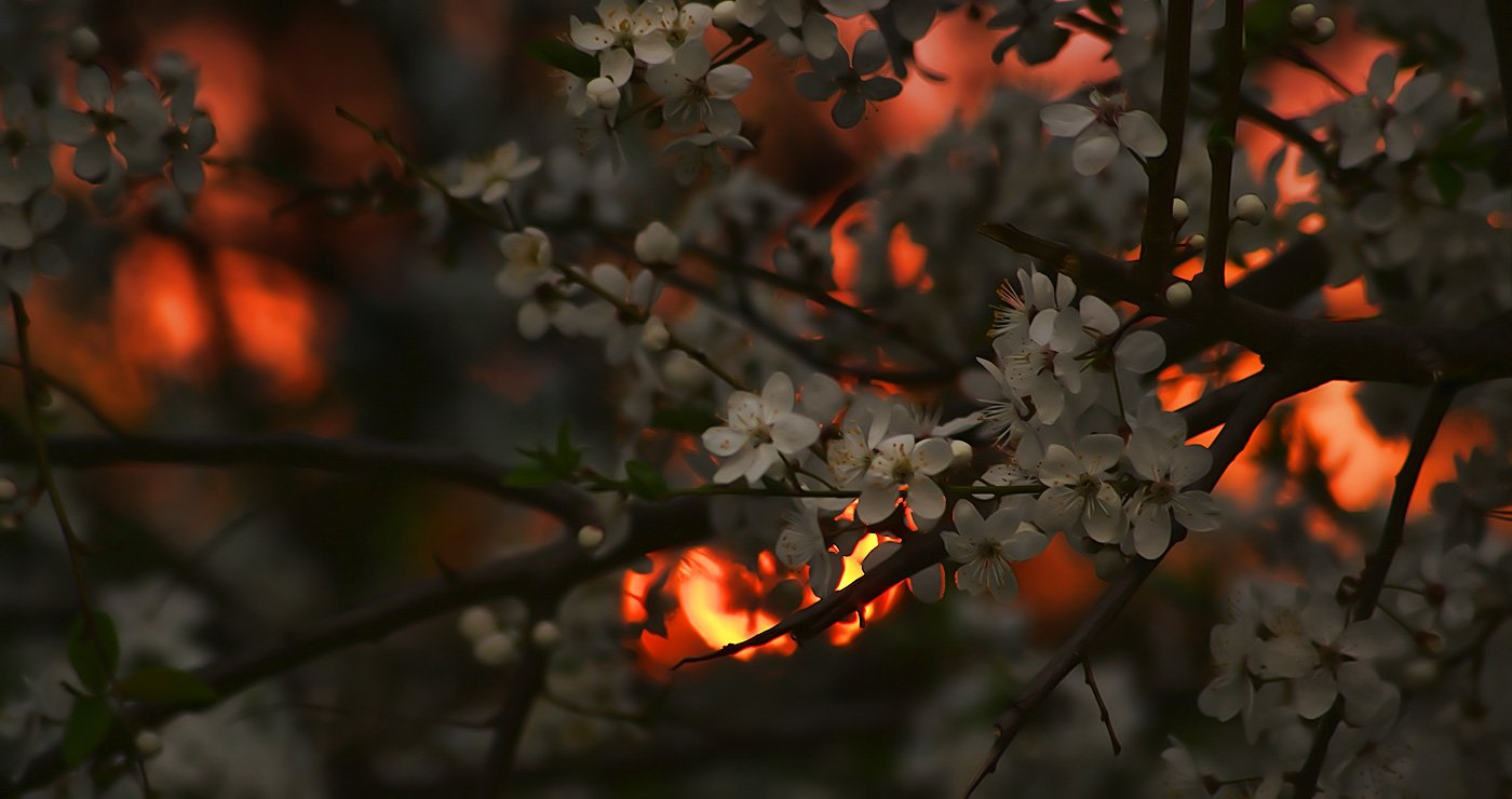 """Солнце, освещающее вишню, цветущую на окраине завода """"Электроаппарат"""", за полчаса до заката, вызванного суточным вращением Земли"""