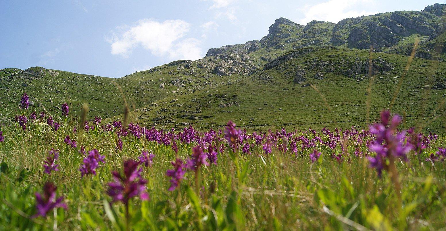 Альпика пятнами сплошь заросла орхидеями