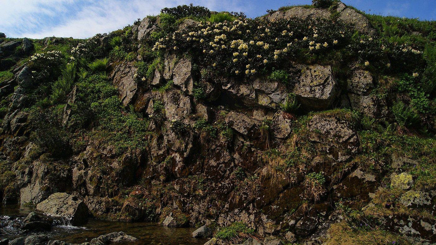 Рододендроновая заросль на краю ручья