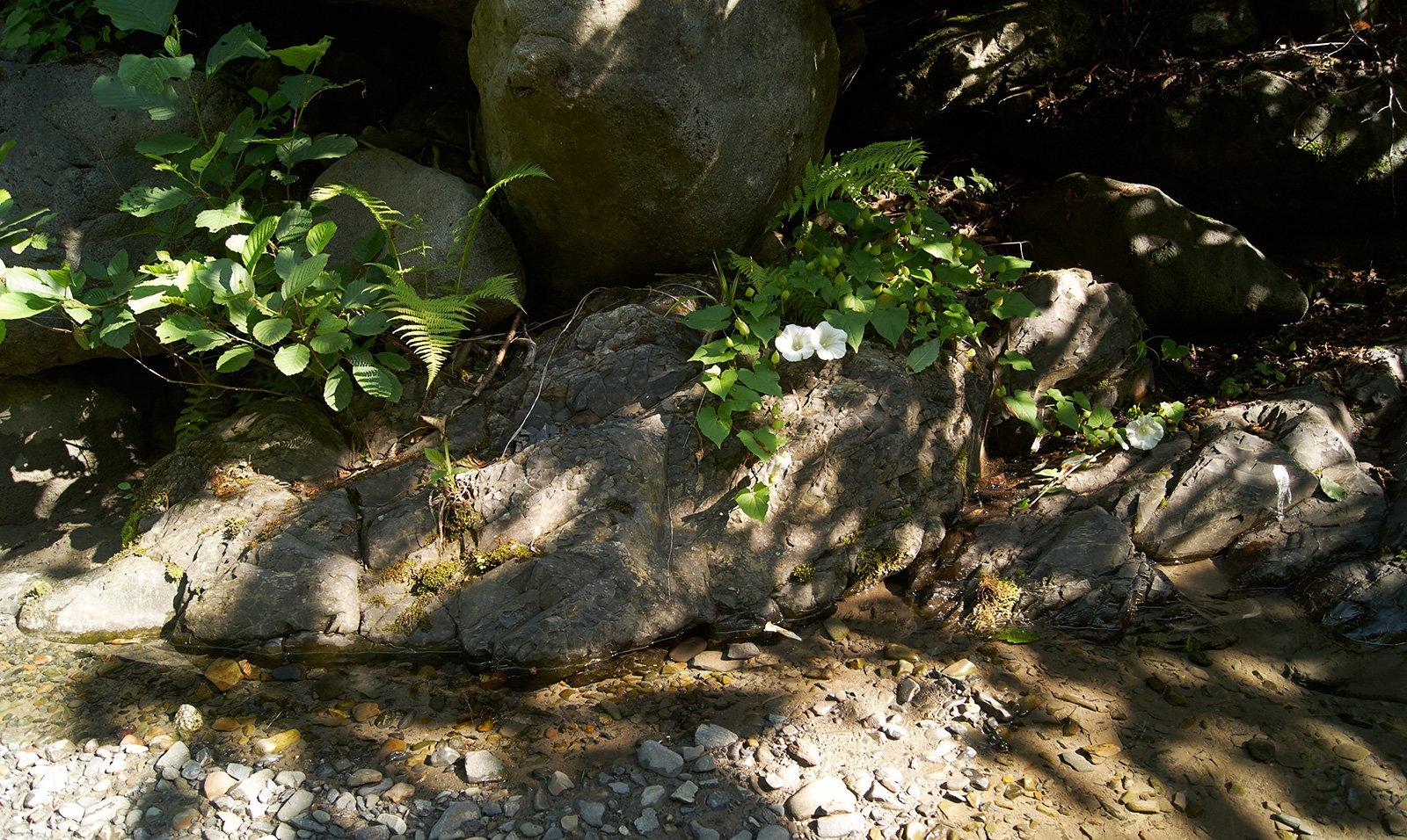 Вьюнки на берегу реки Цамур