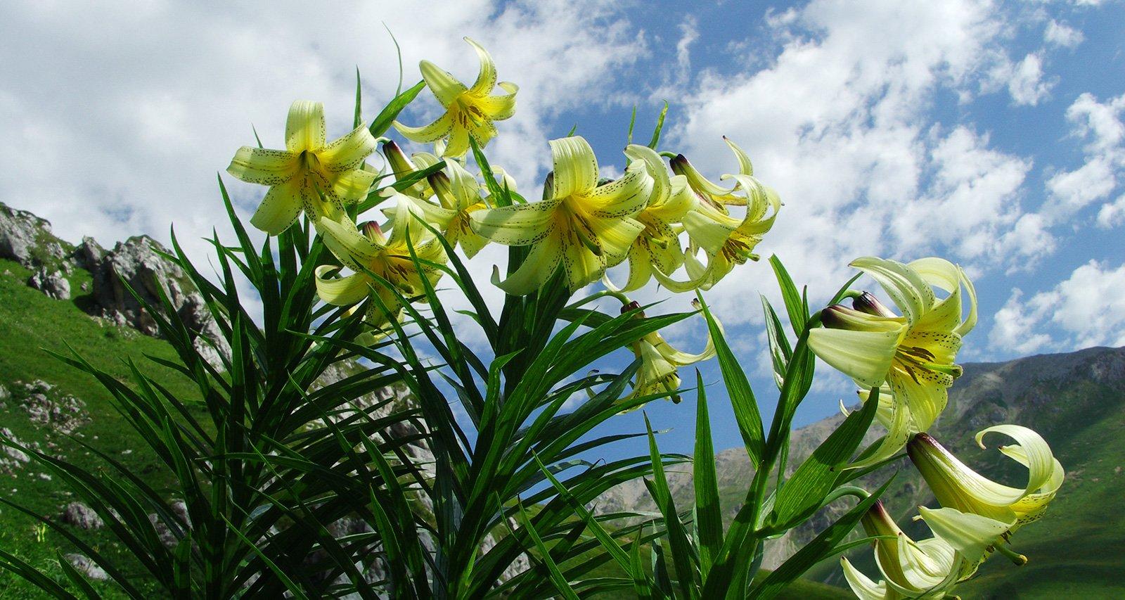 Лилии цветут и пахнут