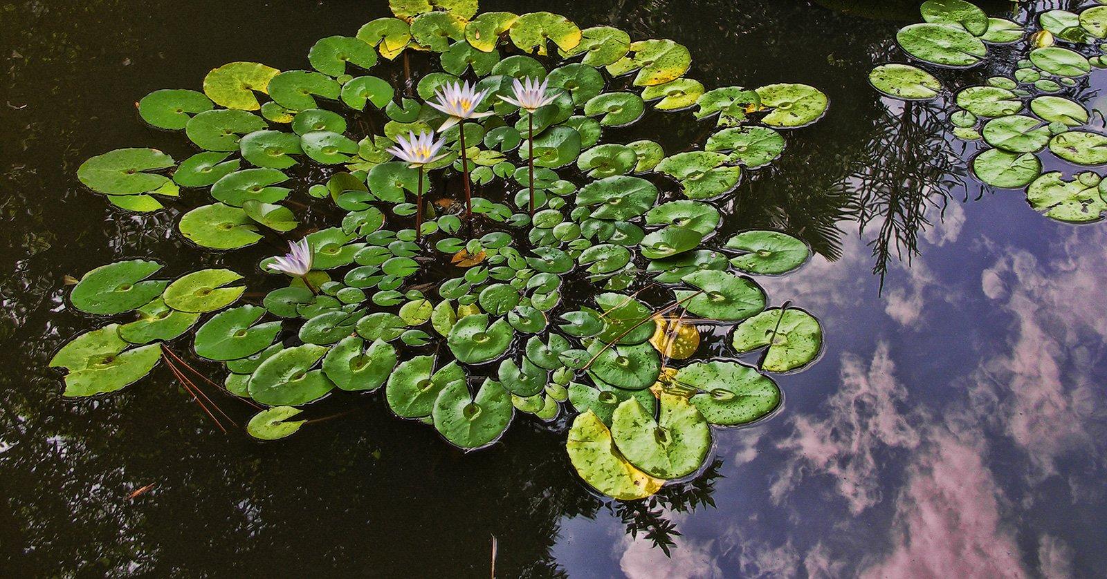 Сухум, лотос цветет