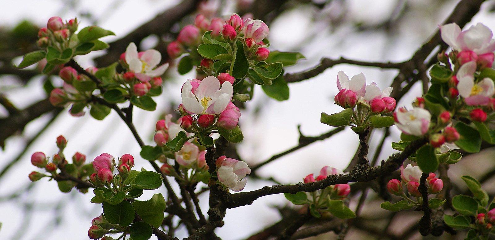 Яблони доцветают