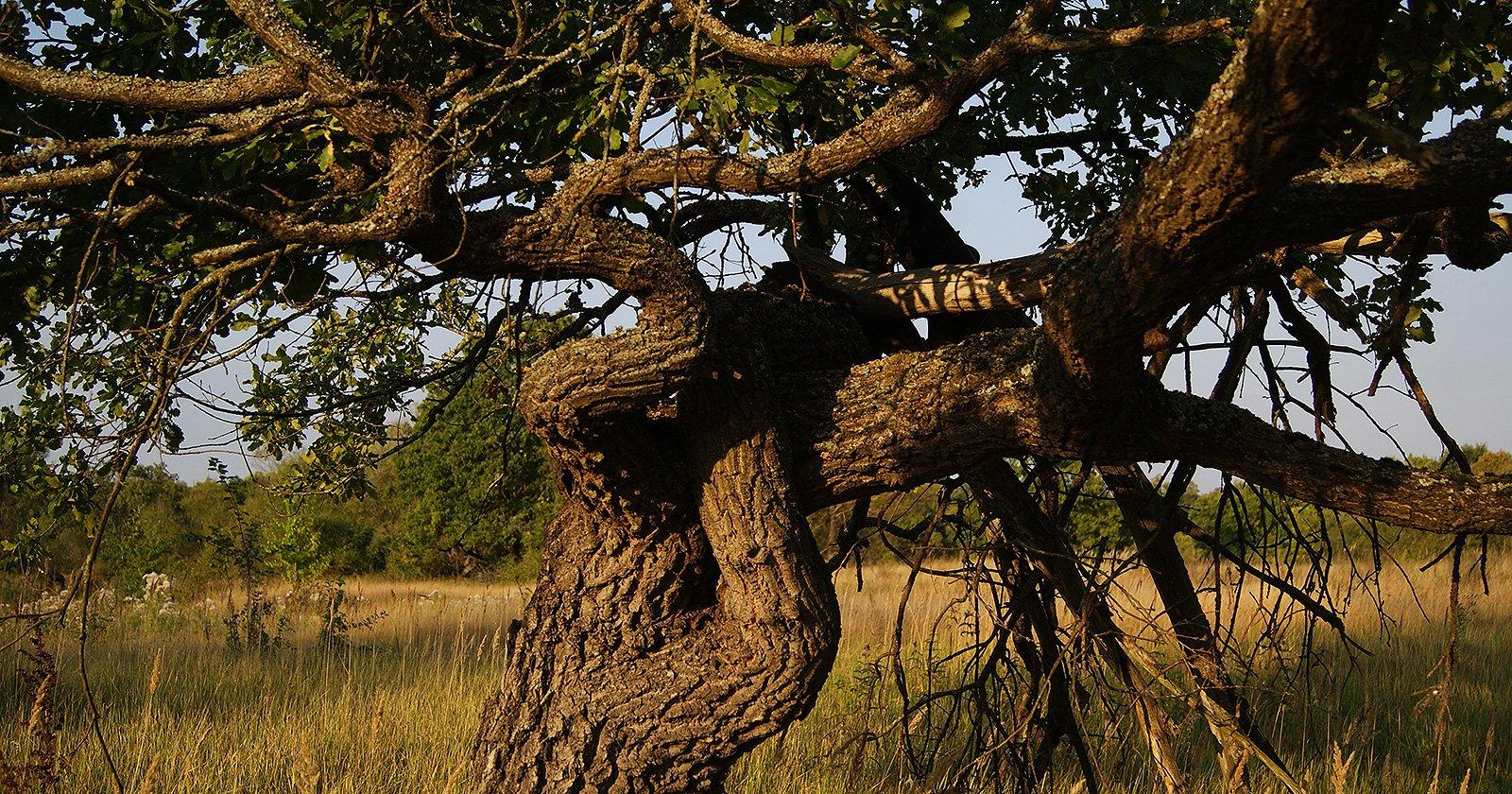 скрюченный дуб на лугу