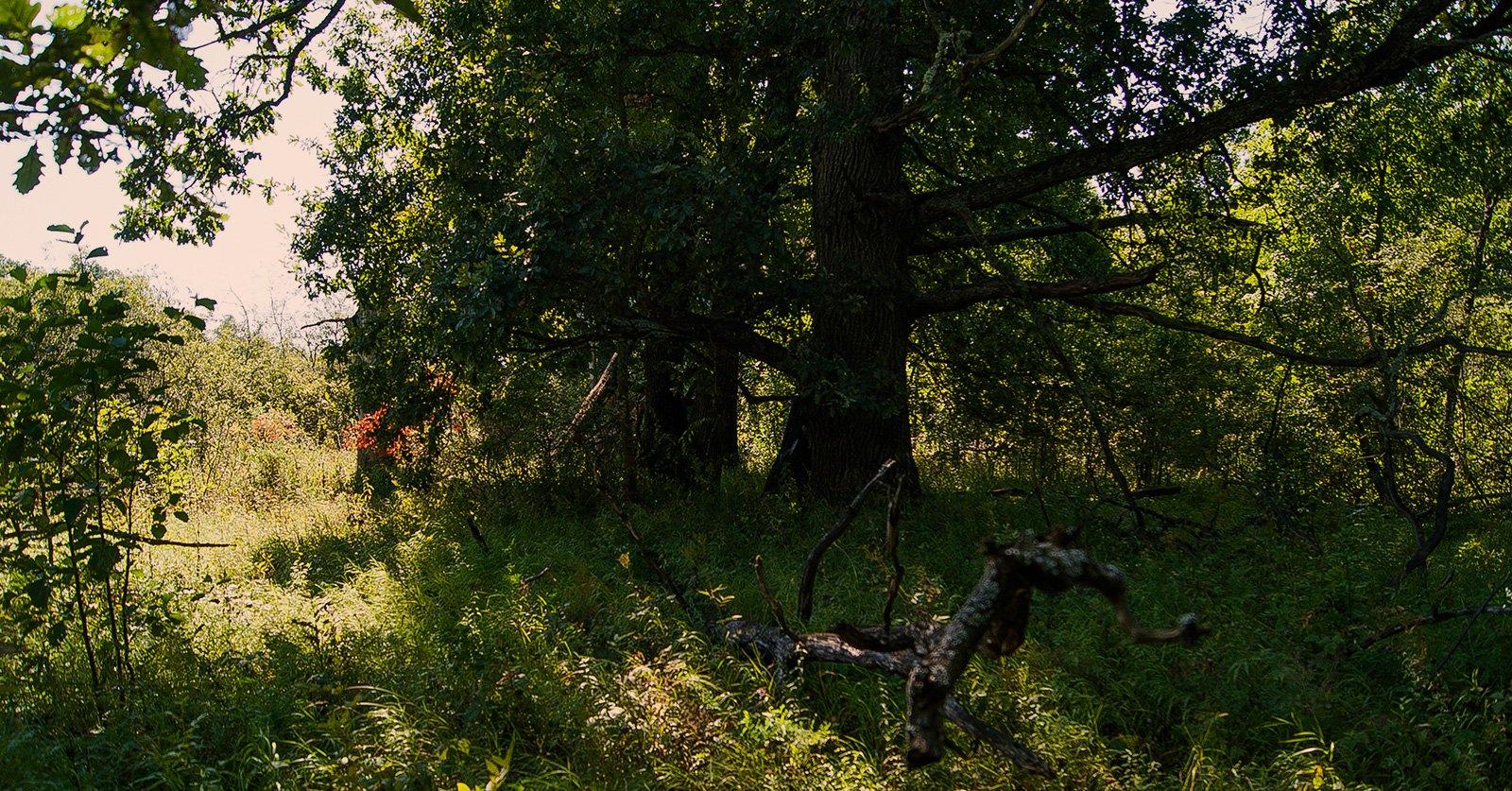 столетние дубы на берегах озера