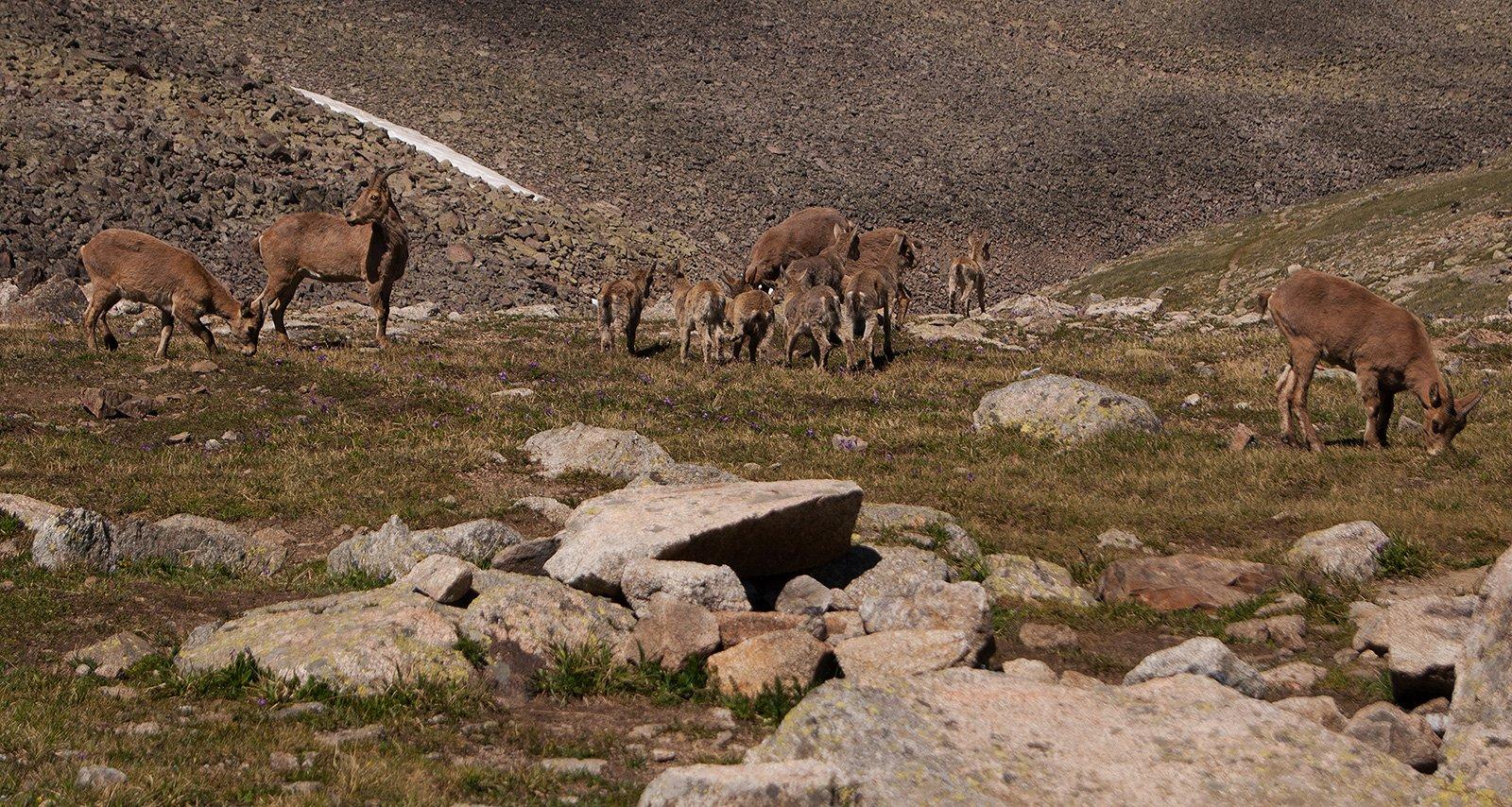 стадо горных коз