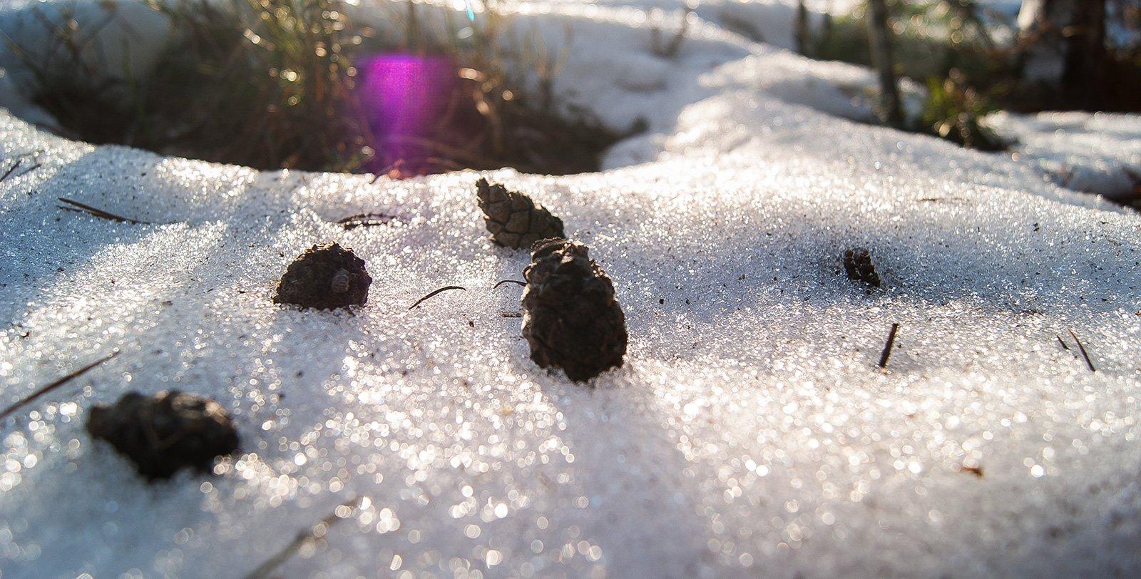 Шишки в сахарном снегу