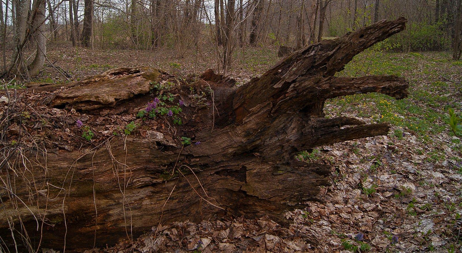 хохлатка поселилась в корнях мёртвого дуба