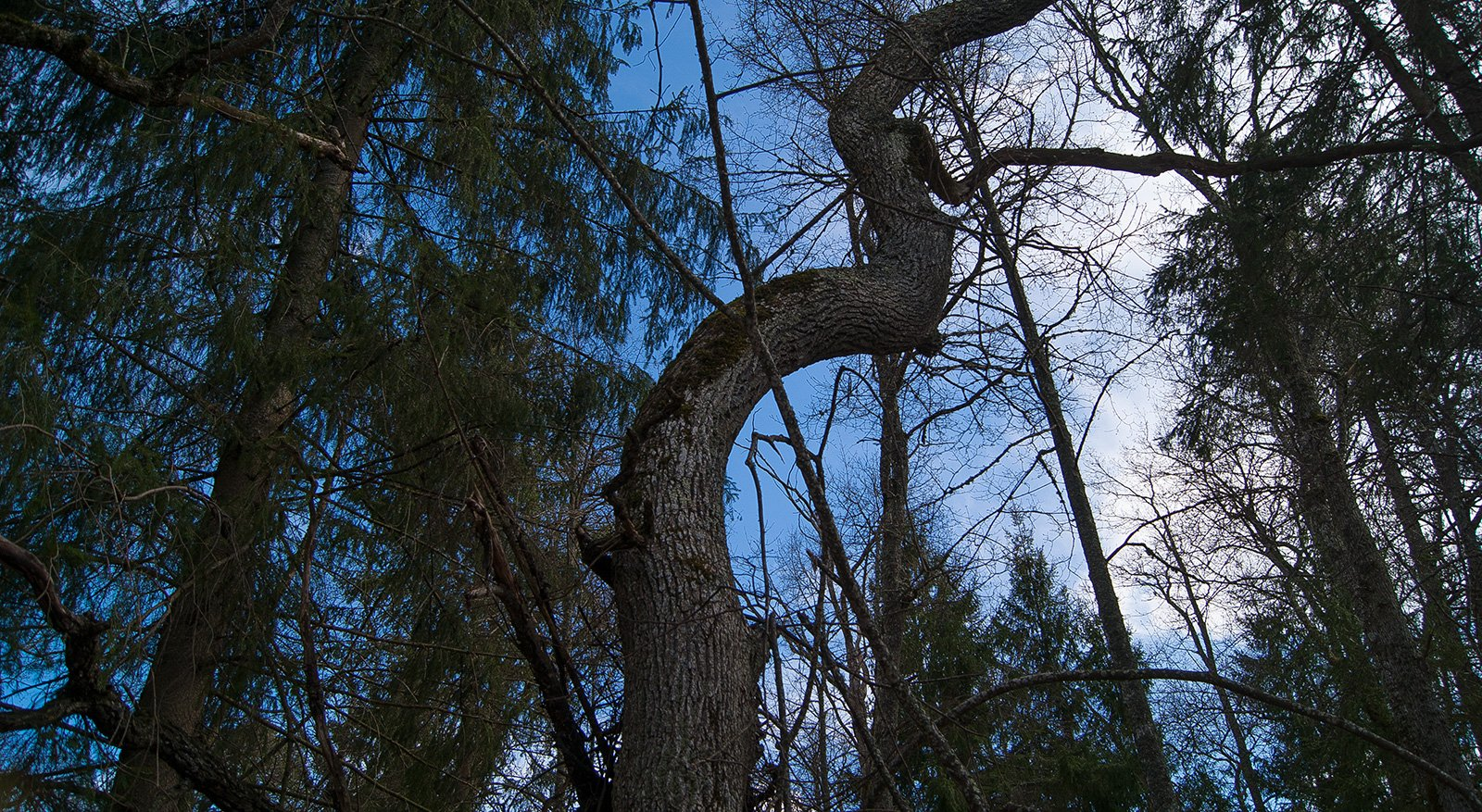 причудливо гнутый дуб на берегу Боровня