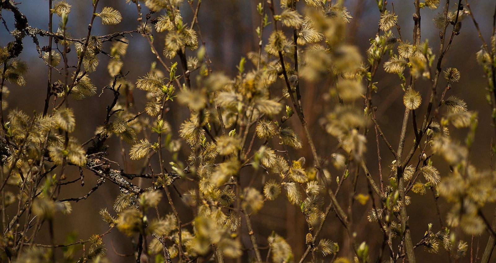 На берегу Навли цветет ива