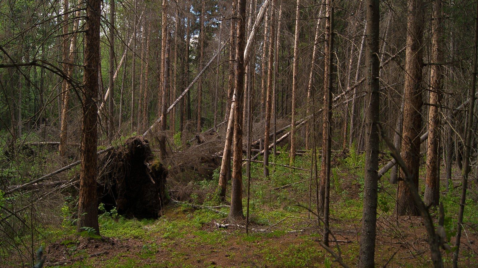 старый буреломный лес