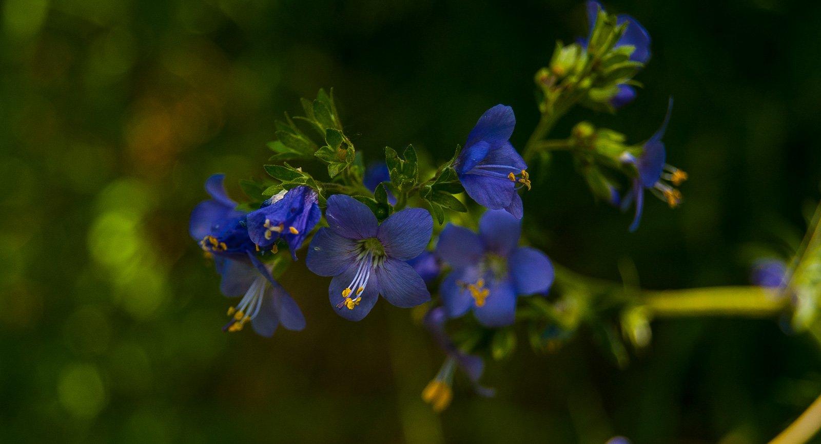 Синюха голубая