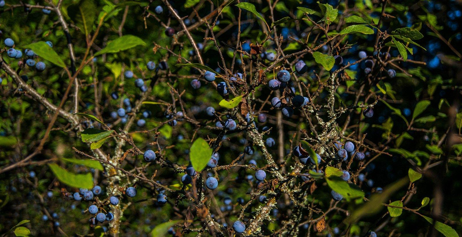 Терновник ( дуб и ясень неподалёку тоже растут )