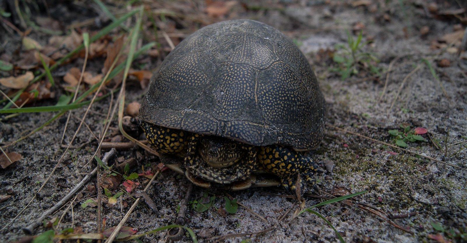 Беглая черепаха
