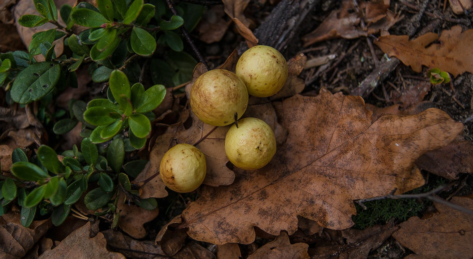 Дубовые яблоки