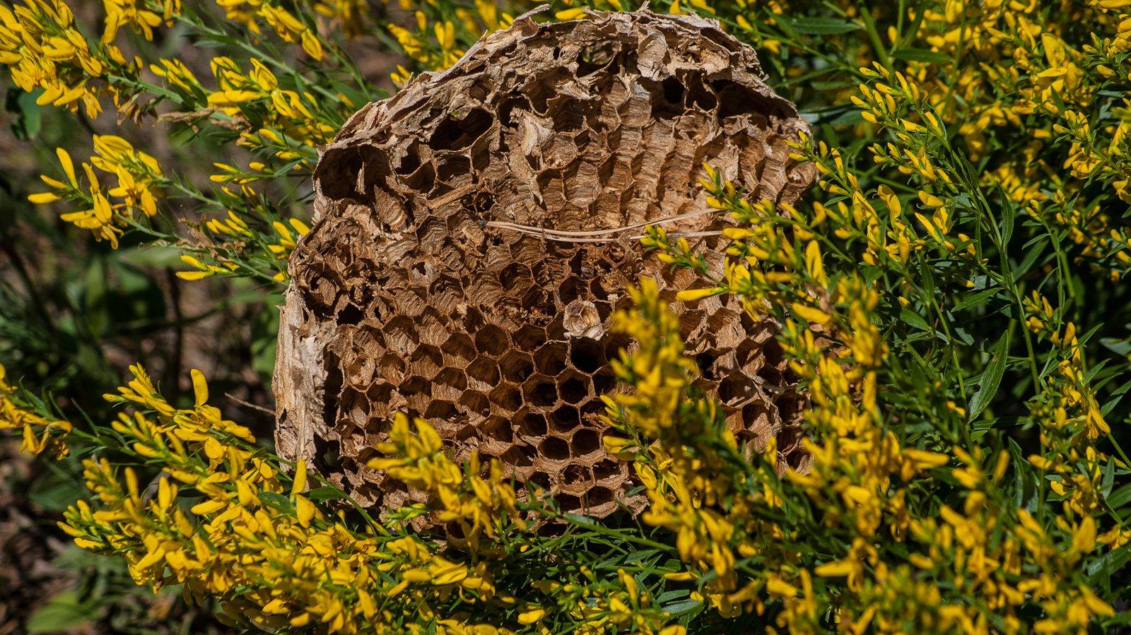 Гнездо бумажных ос среди дрока