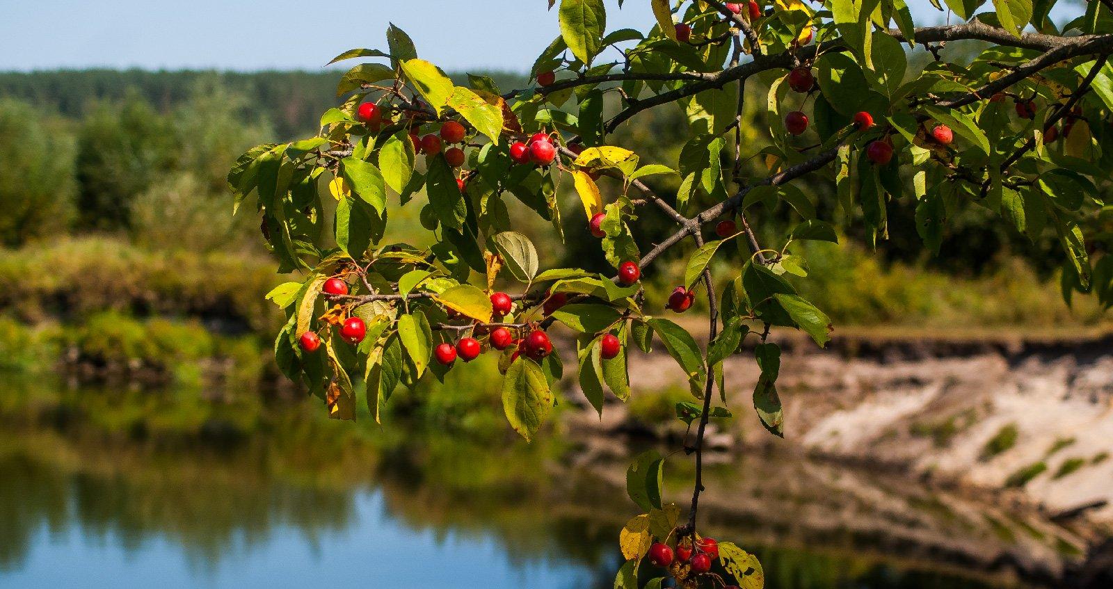 Еще немножко яблони напоследок