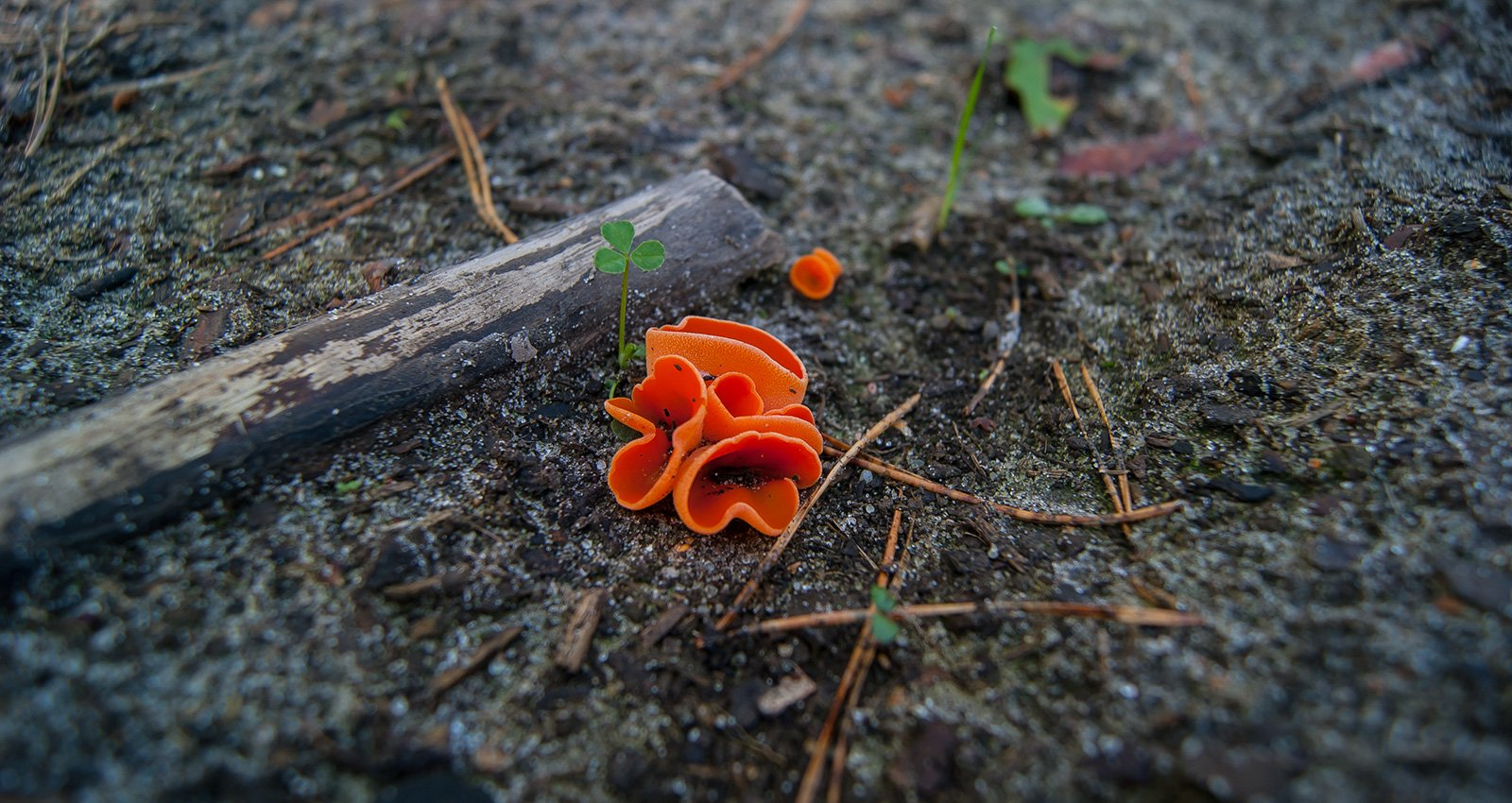 Алеврия оранжевая и кислица