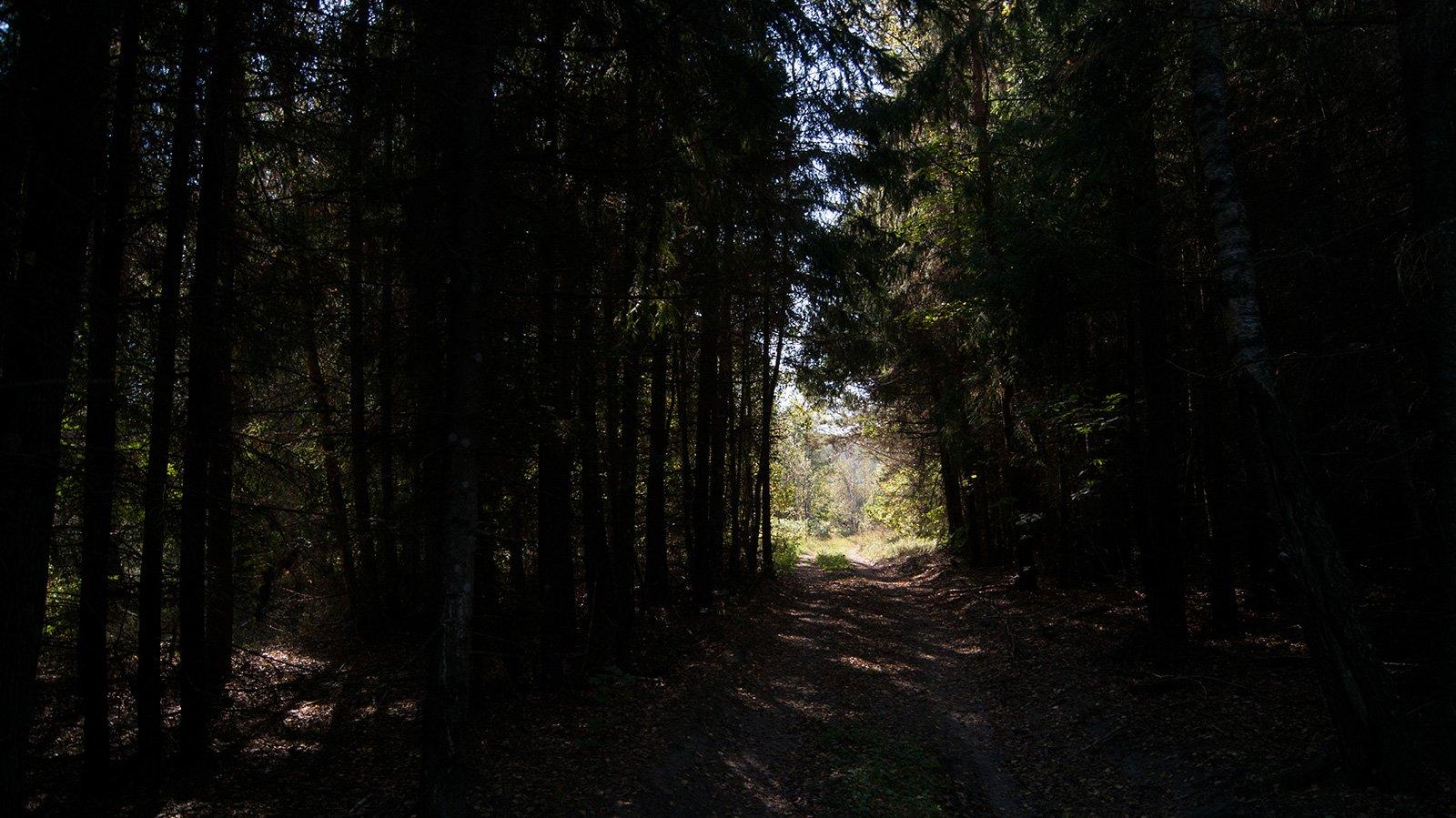Тоннель к свету в мощном старом елльнике