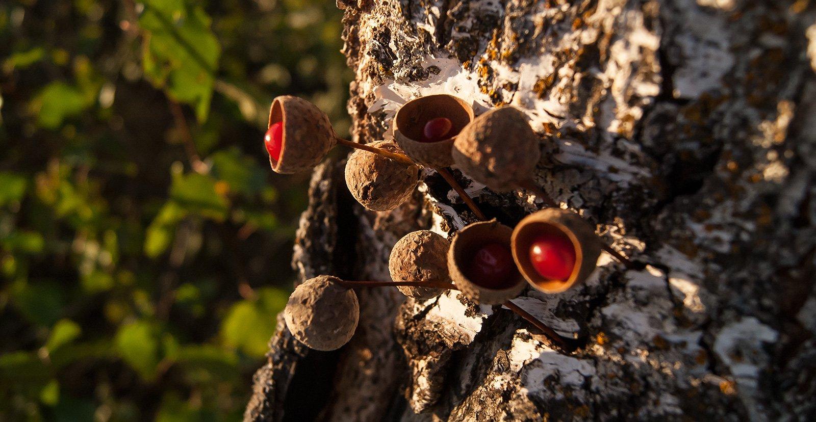 Созревшие плоды дуболины