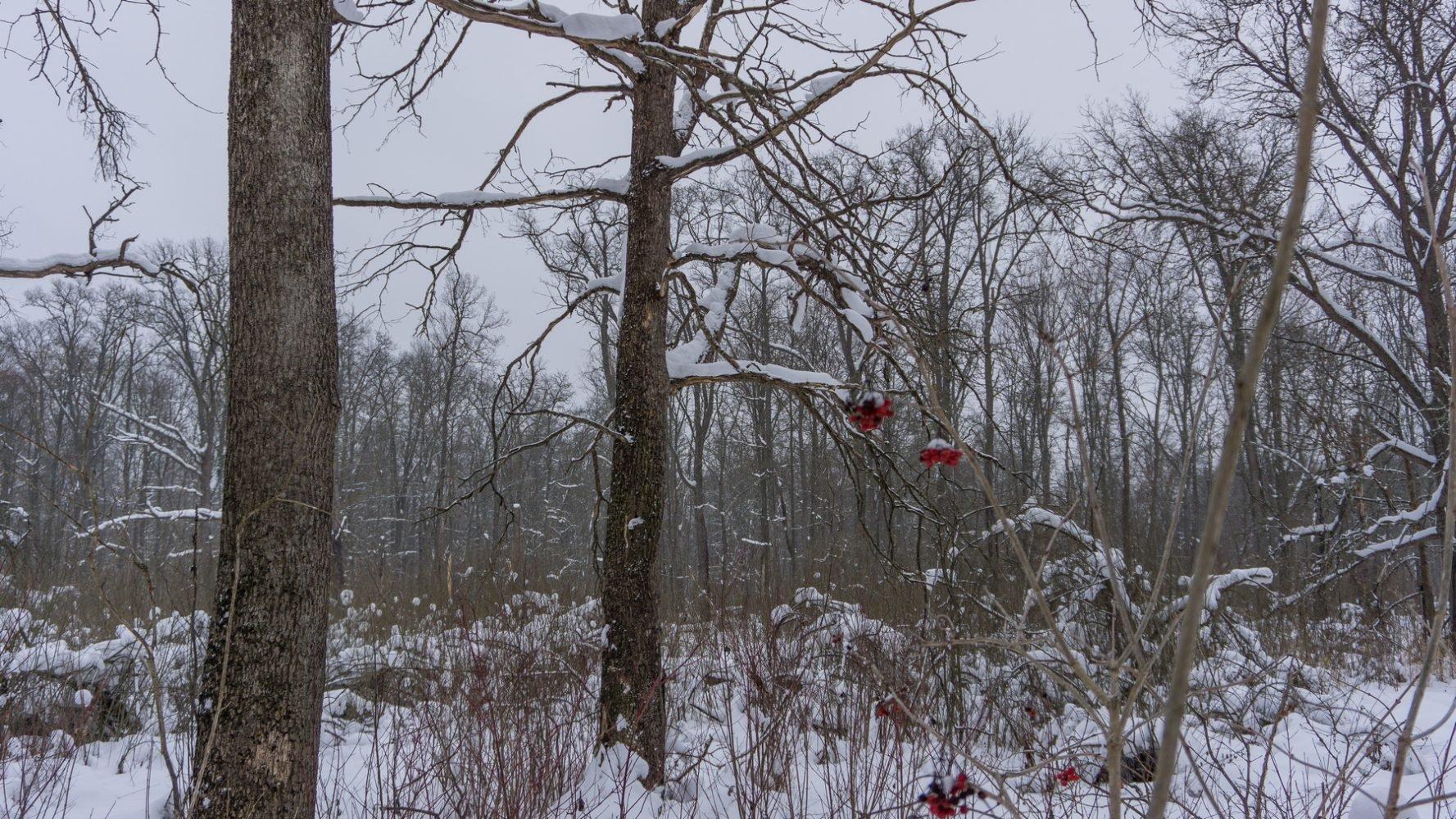 Калина на болоте в урочище Выпуск
