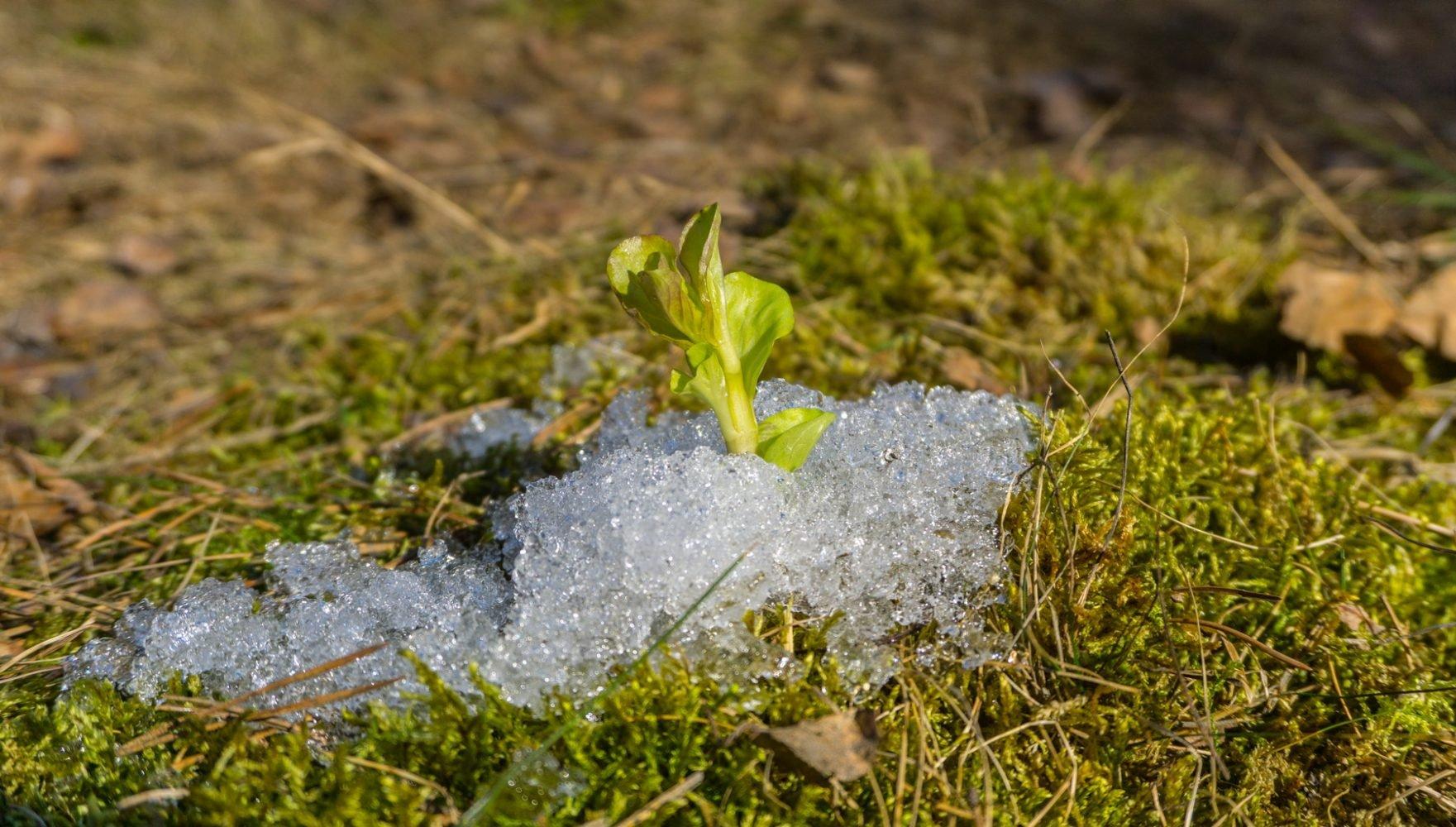 Мята-сковзь-снег