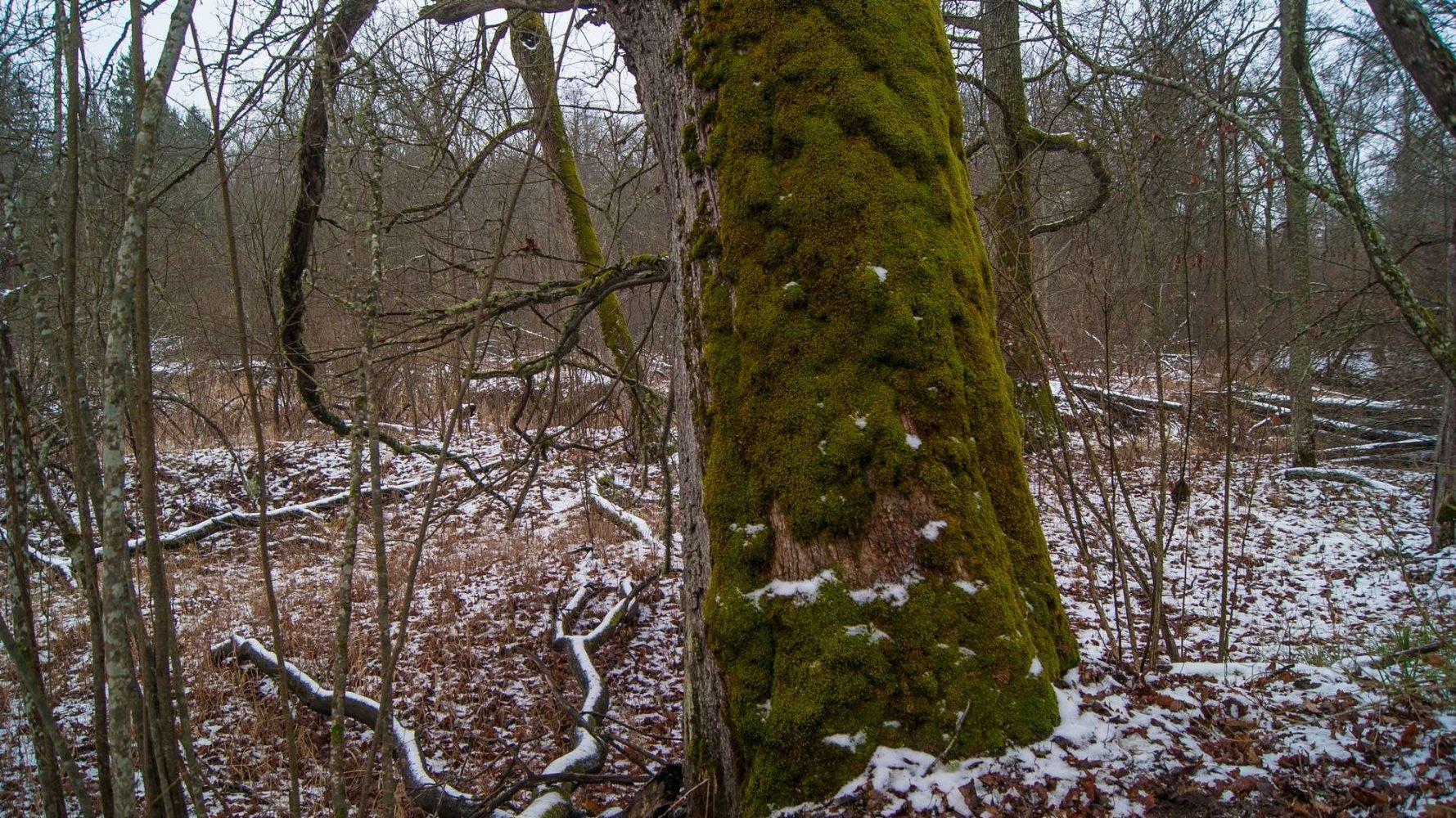 Огромный мшистый дуб на берегу Опороти