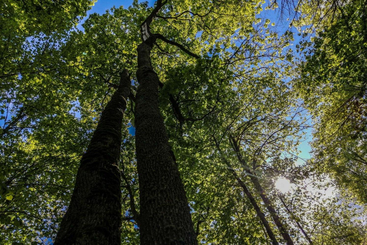 Старый кленовый лес