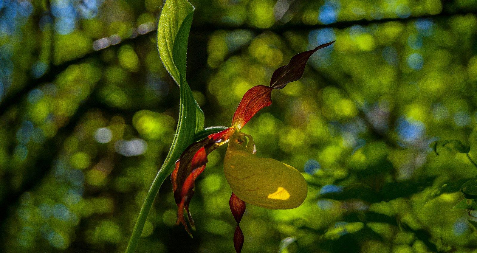 """Обильное цветение орхидей """"Венерин башмачок"""""""