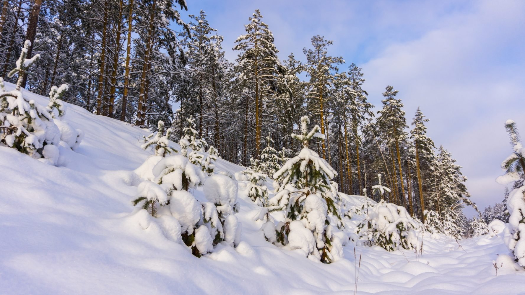 Рождественский лес на Свенских дюнах