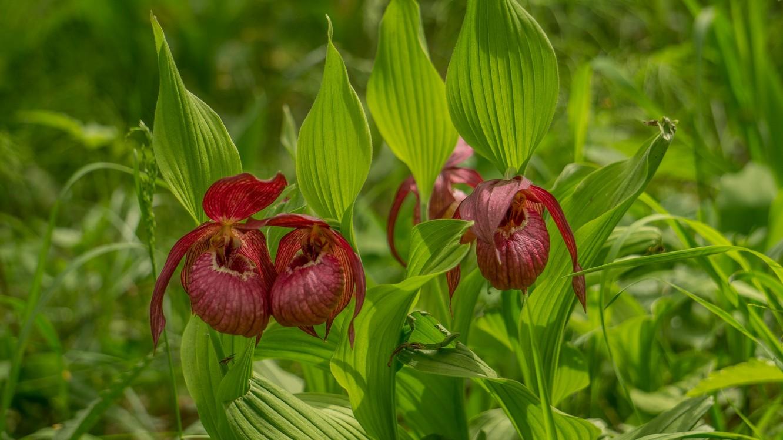 Венерин Башмачок крупноцветковый
