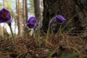 Сон-трава в лесу Ковшовского лесничества