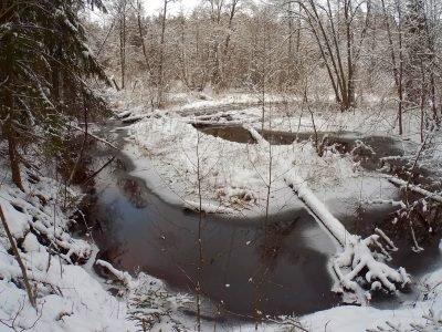 Сумрачный снежный лес и оранжевая дрожалка в нём